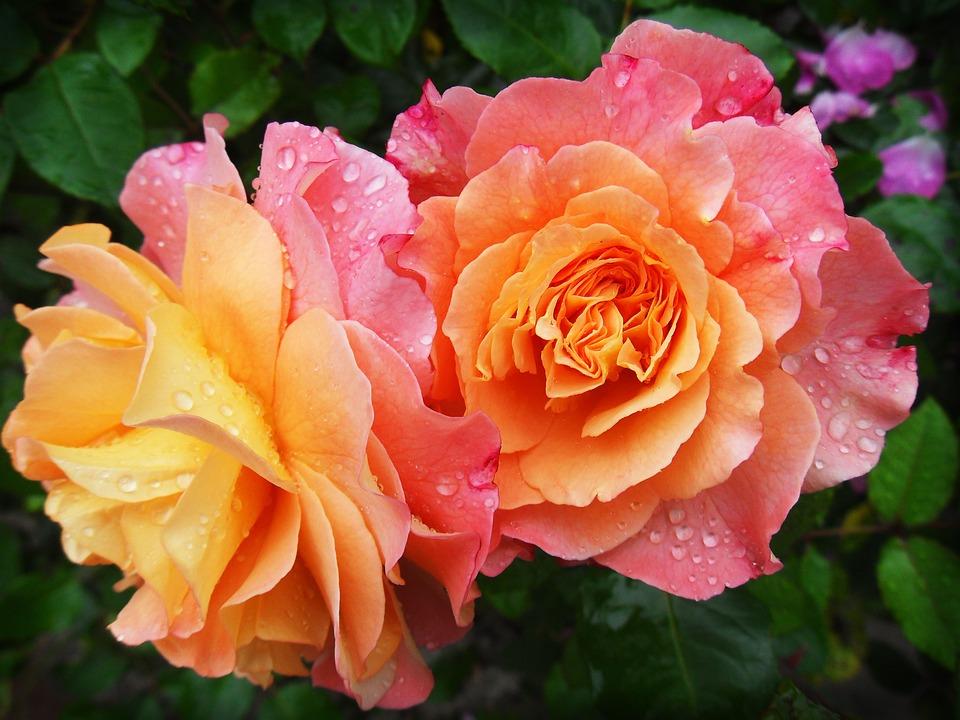 Růže na podzim