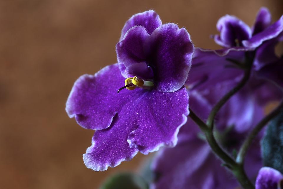 Jonátka africká jako hojně pěstovaná pokojová rostlina. Znáte ji?