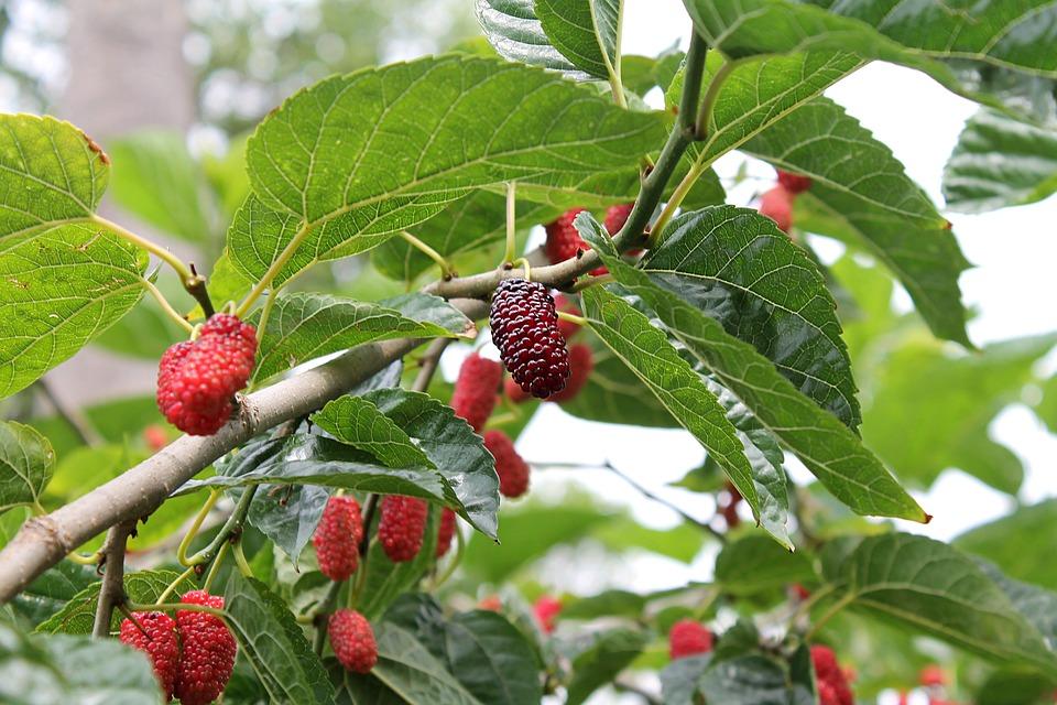 Jaké ovocné dřeviny se vyplatí pěstovat, jelikož zkrášlí zahradu?