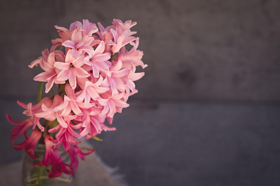 Pěstujeme hyacinty. Jak na to?