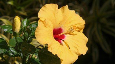 Ibišek jako pokojová rostlina. Jak vypěstovat bohaté barevné květy?