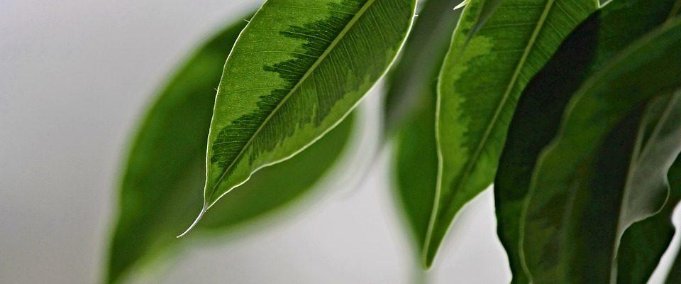 Pěstování fíkusů není žádná věda. Co má rád ficus benjamin?