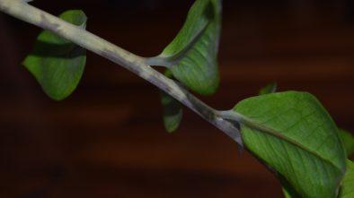 Na co si dát pozor při pěstování zamioculcasu? Pěstování není tak snadné