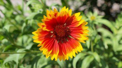 Rostliny, které budou na zahradě kvést, i když bude sucho