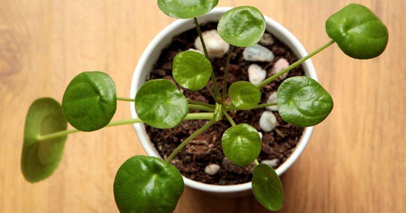 Jak pěstovat pileu? Péče není nijak náročná
