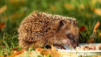 Jak pomoct ježkovi na zahradě přežít zimu?