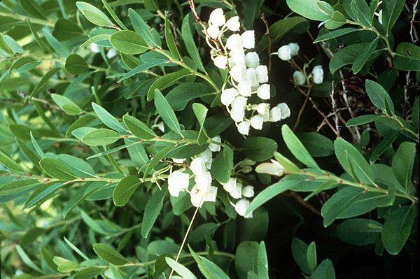 Seznamte se se zenobií poprášenou, zajímavou vřesovištní rostlinou