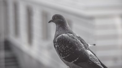 Znepříjemňují vám život holubi? Poradíme, co na ně platí