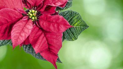 Vánoční květiny doma po celý rok. Jak se o ně starat?